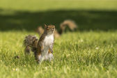 A squirrel looking at you in the green grass background — Stock Photo
