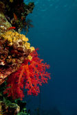 A soft coral in the black background in the blue reef background — Stock Photo