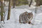 An isolated Lynx in the snow background while looking at you suspicious — Stock Photo