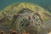 A sea Turtle portrait close up while looking at you — Stock Photo