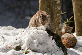 Two Lynx in the snow background while looking at you — Stock Photo