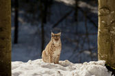 An isolated Lynx in the snow background while looking at you in the beautiful light — Stock Photo