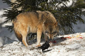 A grey wolf isolated in the snow while looking at black raven — Stock Photo