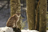 An isolated Lynx in the snow background while looking at you while sitting on a rock — Stock Photo