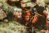 Un colorido camarón mantis mirando lo macro en Cebú — Foto de Stock