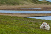 An isolated lamb from iceland relaxing on the green grass — Stock Photo