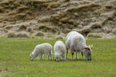 A white sheep and two lambs from iceland while eating the green grass in relax — Stock Photo