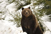 A black bear brown grizzly portrait in the snow while looking at you — Stock Photo