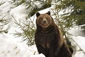 En svartbjörn brunt grizzly stående i snön medan du tittar på du — Stockfoto