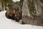A black bear brown grizzly family portrait in the snow while looking at you — Stock Photo