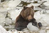 Un retrato de grizzly oso negro marrón en la nieve mientras comiendo y jugando con hielo — Foto de Stock