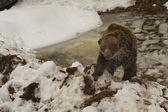 Czarny niedźwiedź brązowy grizzly portret w śniegu i lodu, patrząc na ciebie — Zdjęcie stockowe