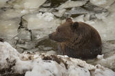 A black bear brown grizzly portrait in the snow while swimming in the ice — Stock Photo