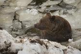 Un retrato de grizzly oso negro marrón en la nieve mientras nadaba en el hielo — Foto de Stock