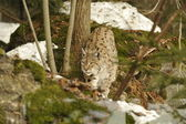 An isolated Lynx in the snow background while hunting looking at you — Stock Photo