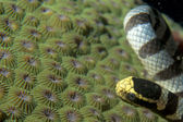 The poisonus black and white sea snake on hard coral in Cebu Philippines — Stock Photo