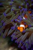 A clown fish portrait in Borneo, Indonesia — Stock Photo