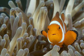 An isolated clown fish looking at you in Cebu Philippines — Stock Photo