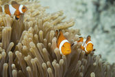 An group of clown fish looking at you in Cebu Philippines — Stock Photo