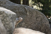 A grey squirrel looking at you while hiding behind a rock — Stock Photo