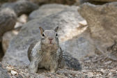 A grey squirrel looking at you while portrait on the rock background — Stock Photo