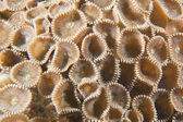 A coral macro detail like flowers in Cebu Philippines — Stock Photo