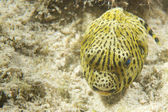 A yellow puffer fish on sand in Cebu Philippines — Stock Photo
