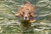 An english cocker spaniel dog per puppy close up portrait while swimming and lookin at you — Stock Photo