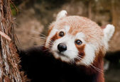 Red Panda close up portrait while looking at you — Stock Photo