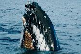 Humbak głowa comuing się w głęboki błękit oceanu polinezji — Zdjęcie stockowe