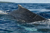 Huge close up Humpback whale back and tail going down in blue polynesian sea — 图库照片