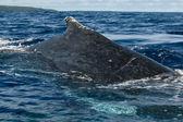 Stor närbild knölval ryggen och svansen går ner i blå polynesiska havet — Stockfoto