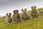 Fyra vita ram får med långa horn tittar på dig på nära håll — Stockfoto