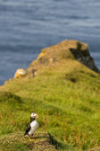 En färgglad puffin porträtt isolerade i naturlig miljö på gräs och blå bakgrund — Stockfoto