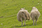Two sheep with long hairy wool taken from back in the green grass background — Stock Photo