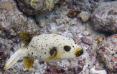 A colorful puffer fish while scuba diving in Maldives — Stock Photo