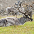 Reindeer resting in Svaldard Island — Stock Photo