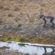 An isolated arctic fox in summer in Svalbard  — Stock fotografie