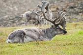 驯鹿在 svaldard 岛休息 — 图库照片