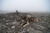 An husky newar huntin gun in Svalbard Spitzbergen — Stock Photo