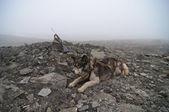 Een husky newah gejaag pistool in spitsbergen bereneiland — Stockfoto