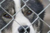 Un perro vistazo a través de la rejilla metálica en svalbard — Foto de Stock