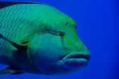 Red Sea Napoleon Fish close up portrait — Stock Photo
