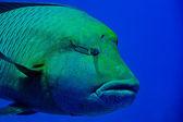 Red Sea Napoleon Fish close up portrait — Stock Photo
