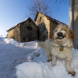 A dog looking at you on the snow and stone house background — Stock Photo