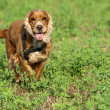 A dog cocker spaniel running on green grass — Stock Photo