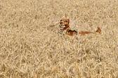 A dog cocker spaniel jumpin over the grain — Stock Photo