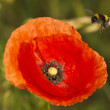 A bee flying to red poppy — Stock Photo