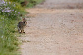 A jack rabbit running to you — Stock Photo