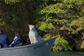 A dog looking at you from a boat in Alaska — Foto de Stock
